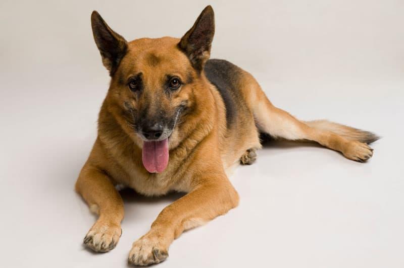 Schæferhunden er en meget velkendt race, som vi typisk har set som politihund