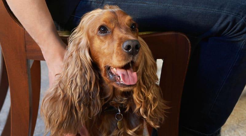 En cocker spaniel er en særdeles populær hund både i Danmark såvel som i resten af verden