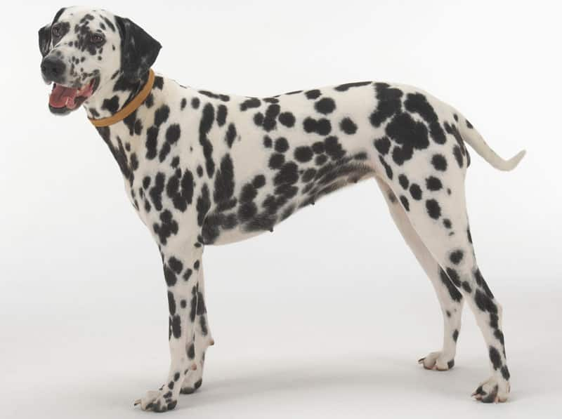 Det kan være svært at vælge, hvilken hund man skal byde velkommen i sin familie