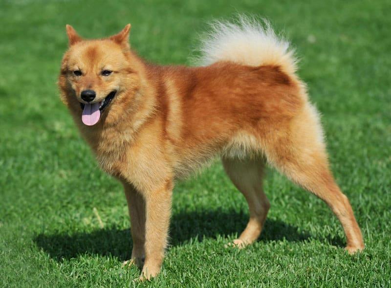 Vil du gerne have en familiehund, kan du overveje en finsk lapphund
