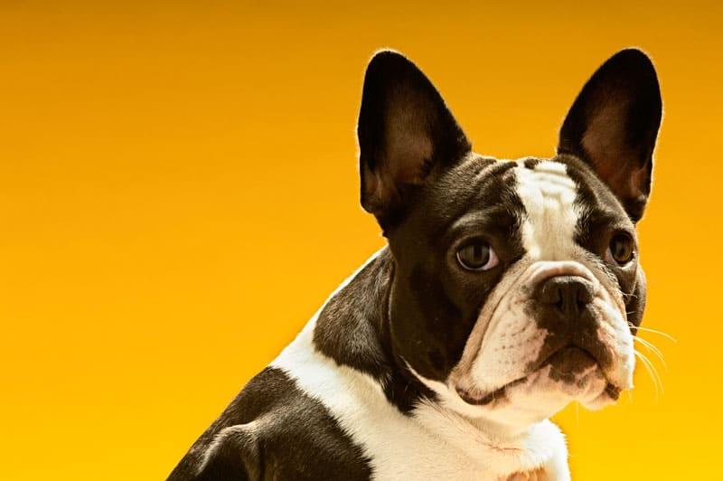 En fransk bulldog er blevet yderst populær de seneste år