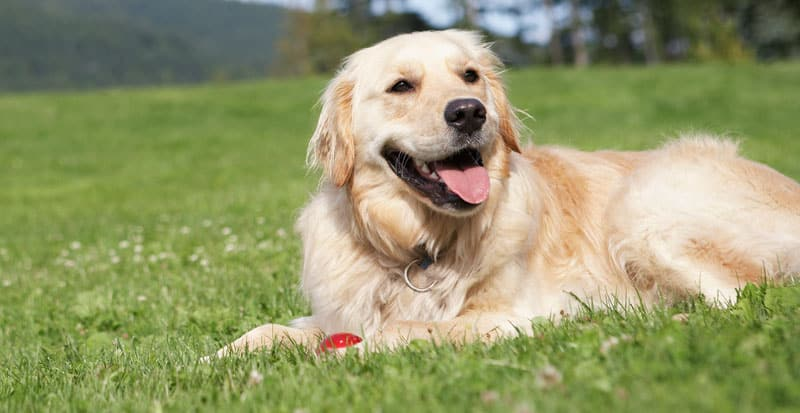 En golden retriever er en vaskeægte familiehund